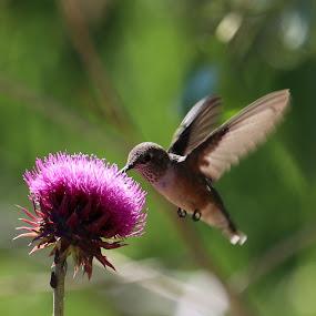 Humming bird by Lyn Simuns - Animals Birds ( bird, hummingbird )