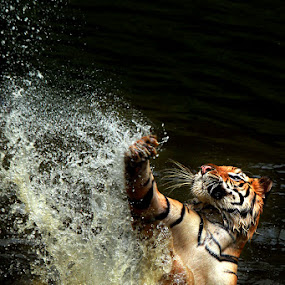 action tiger by Arif Otto - Animals Lions, Tigers & Big Cats ( tiger )