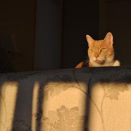 Norton by Marcy Herrick - Animals - Cats Portraits ( cats, animals, feline )
