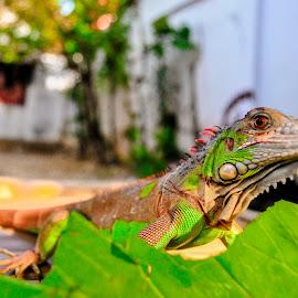 Iguana by Akuaka Akbar - Animals Reptiles ( wild animal, pet, iguana, wildlife, reptile,  )