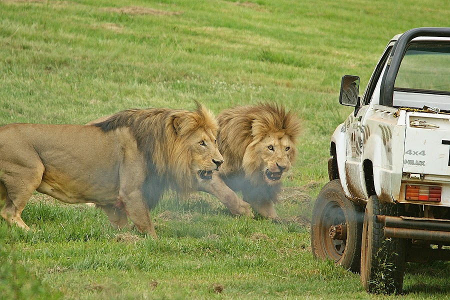 No smoking diesel vehicles in our territory by Charmane Baleiza - Animals Other Mammals ( charmane baleiza, big cats, male lions, wildlife, lions )