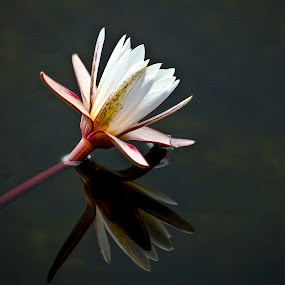 water lilly by Rian Van Schalkwyk - Nature Up Close Flowers - 2011-2013 ( flora, water flower, water lilly, flower,  )