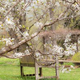 by Chandra Whitfield - City,  Street & Park  City Parks ( nature, bench, park, spring, magnolia )