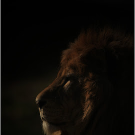 The shadow king  by Paul Fine - Animals Lions, Tigers & Big Cats ( big cat, predator, lion, endangered species, kng, safari, africa )
