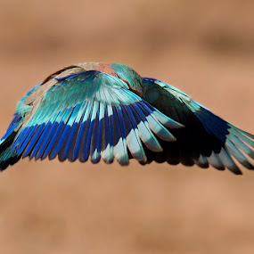 Take a bow! !! by Masood Hussain - Animals Birds ( flying colors, freedom, glide, wildlife, blue jay, birds, birding, free, ornithology, sky, nature, wings, action, ecology, bird photography, biology, limit, colors, majestic, glory, bird pictures, bird photos, forest, greet, indian roller, bird, bird shots, magnificent, flight, jungle, fly, blue, take off, bow, high, natural )
