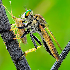 The Predator by Cibo Heriansyah - Animals Insects & Spiders ( predator, macro, eat, insect, robber fly )