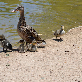 Duck family by Heather Walton - Novices Only Wildlife ( water, babies, fuzzy, ducks, spring )