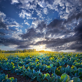 Ankle High in July by Phil Koch - Landscapes Prairies, Meadows & Fields ( vertical, arts, fine art, travel, yellow, crop, love, sky, nature, weather, light, trending, colors, twilight, art, mood, journey, horizon, rural, portrait, country, dawn, environment, season, cabbage, serene, popular, outdoors, lines, natural, hope, inspirational, canon, wisconsin, ray, joy, landscape, sun, photography, life, emotions, dramatic, horizons, inspired, clouds, office, hdr, purple, heaven, camera, beautiful, scenic, living, morning, farming, lilacs, field, unity, blue, sunset, peace, meadow, summer, beam, sunrise, earth )