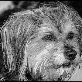 Dog by Dave Lipchen - Black & White Animals