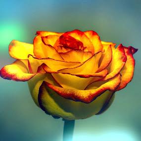 Rose. by Gene Brumer - Flowers Single Flower ( rose, single, colors, flower )