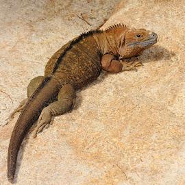 Flemmardage en plein soleil by Gérard CHATENET - Animals Reptiles