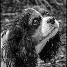 King Charles Spaniel by Dave Lipchen - Black & White Animals ( king charles spaniel )