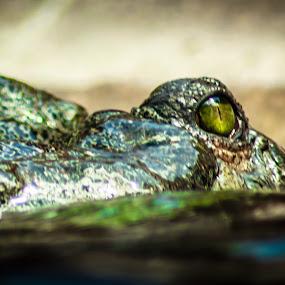 Eye of the Croc by Valliappan Chellappan - Animals Reptiles ( crocodile, reptile, croc, animal, eye )