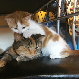Big sister by Kerrie Bosson - Animals - Cats Kittens ( love, little brother, family, big sister, annoying )