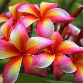 by Ariniwinda Hapsari - Flowers Flower Gardens ( #frangipani #plumeria #nature #flowers #exotic #tropical )