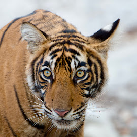Tiger-Cub, Ranthambore Forest, India by PC Meena - Animals Lions, Tigers & Big Cats