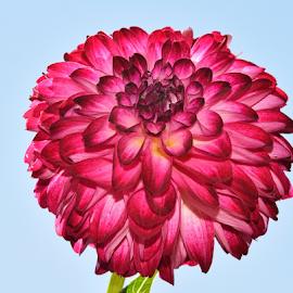 beautiful dahlia by LADOCKi Elvira - Flowers Single Flower (  )