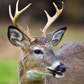 by Herb Houghton - Animals Other Mammals ( wild, buck, 8 pointer, white tailed deer, herbhoughton.com, non captive )