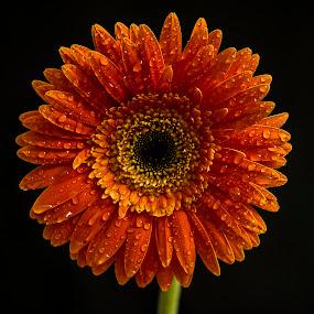 by Rajeev Krishnan - Flowers Single Flower ( single flower, flower photo, gerbera, flower photography, flower,  )