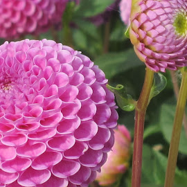 Pink Dahlias by Viive Selg - Flowers Flower Gardens