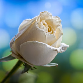 Rose by Gunbir Singh - Flowers Single Flower ( rose, green, white, gunbir, bokeh )
