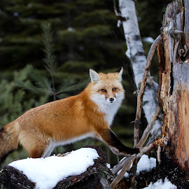 Red Fox by D Marwood - Animals Other Mammals ( canada, ontario, algonquin park, red fox )