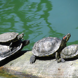 Piggy Back Turtles by Nicola Dowdall - Animals Reptiles