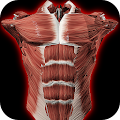 Muscular System 3D (anatomy) APK for Bluestacks