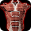 Muscular System 3D (anatomy)