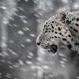 Snow leopard by Mauritz Janeke - Animals Lions, Tigers & Big Cats ( predator, mauritz, endagered, mammal, leopard, snow leopard )