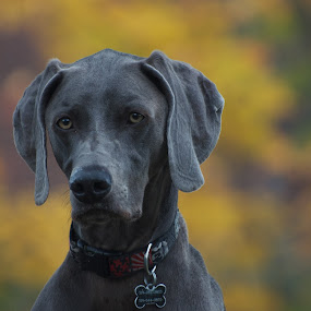 Boscoe by Deb Dicker - Animals - Dogs Portraits ( wemeriner, dog, portrait,  )