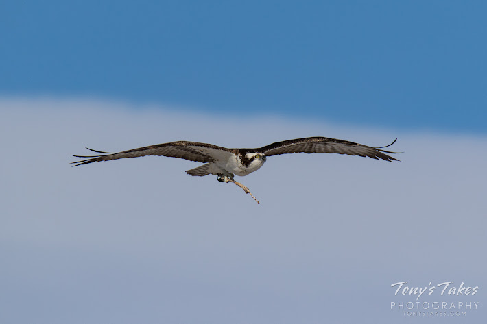 A female Osprey returns to her nest in Longmont, Colorado with a stick. (© Tony's Takes)
