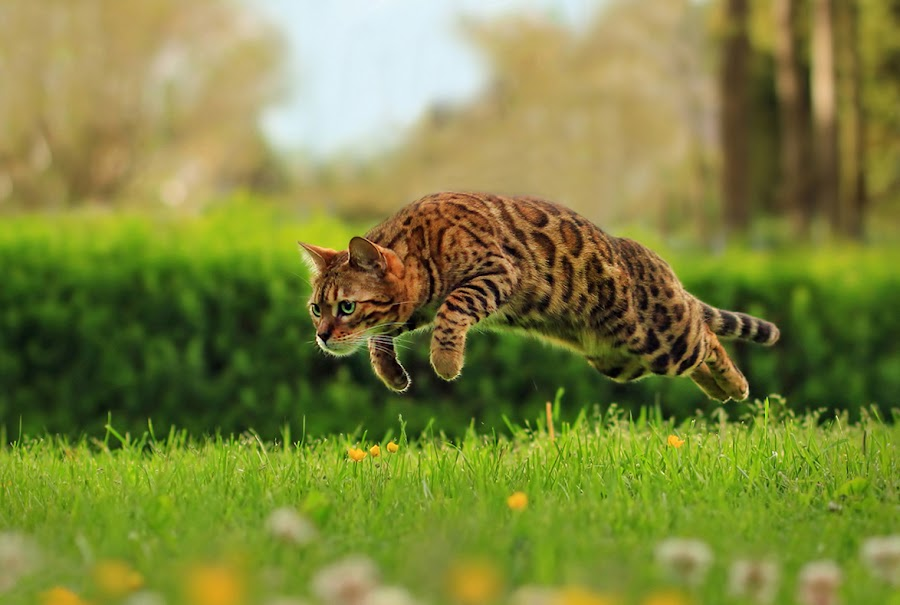by Jane Bjerkli - Animals - Cats Playing (  )