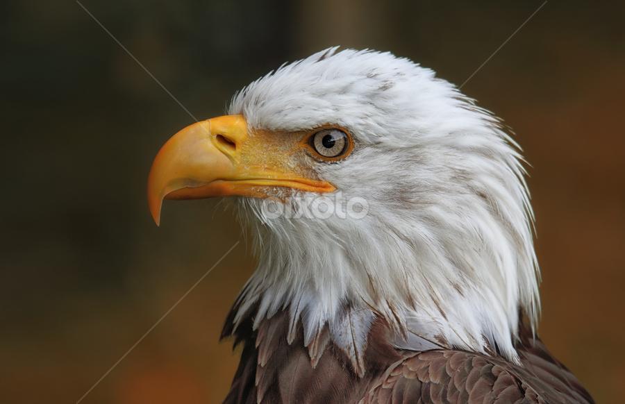 Majestätisch by Michael Milfeit - Animals Birds ( haliaeetus leucocephalus, nebulas, greif, american eagle, weisskopfseeadler, adler,  )