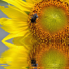 Sunny Reflection by Patricia Warren - Digital Art Abstract ( water, reflection, nature, sunflower, flower )
