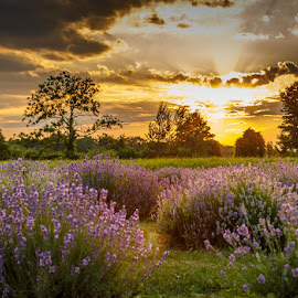 Natural aroma by Diane Gelinas - Landscapes Prairies, Meadows & Fields ( clouds, field, lavander, sunset, perfume )