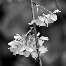 by Koh Chip Whye - Black & White Flowers & Plants