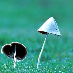 pair by Nani Garu - Nature Up Close Mushrooms & Fungi ( grass, dew, white, morning, mushrooms )