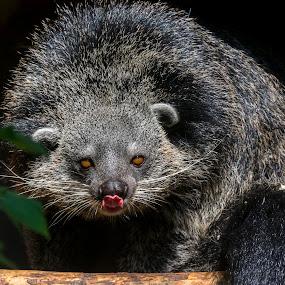 Bearcat of Binturong by Lajos E - Animals Other Mammals ( viverridae, carnivore, beacat, arctictis, binturong, grey, gray, viverrid, mammal, black, carnivora, asian,  )