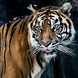 by Renos Hadjikyriacou - Animals Lions, Tigers & Big Cats