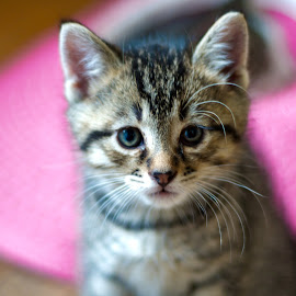 Kitty by Catherine Trudeau - Animals - Cats Kittens