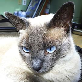 Catleesie by Debra Branigan - Animals - Cats Portraits ( cats, animals, catleesie, portrait, photography )