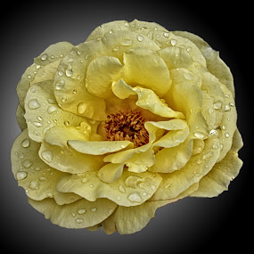 BA rose 52 by Michael Moore - Flowers Single Flower (  )