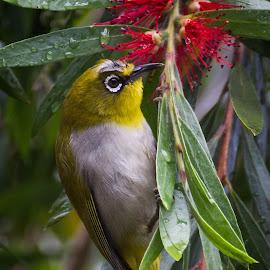 Oriental WhiteEye by Veerendra Prabhu - Animals Birds