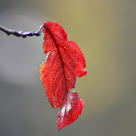 Red leave by Paula NoGuerra - Nature Up Close Leaves & Grasses ( red, autumn leaves, nature, autumn, red leaves, nature up close, autumn colors,  )