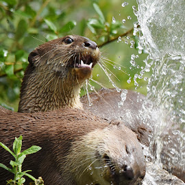 Otters in the water fountain by Fiona Etkin - Animals Other Mammals ( water, water drops, animals, playful, nature, aquatic, otters, splashes, fun )