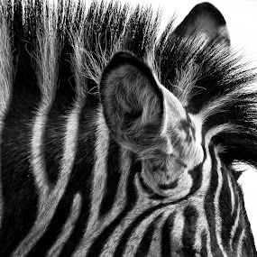 I shall be heard by Delia Galhotra - Animals Other ( wild, life, digiphotography, ear, zoo, white, zebra, stripes, portrait, black, animal )