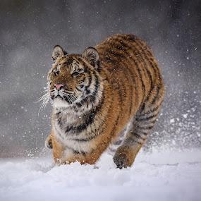 Hunting by Jiri Cetkovsky - Animals Lions, Tigers & Big Cats ( winter, tiger, snow, ussurian, hunting )