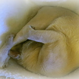 mathilda by Caroline Beaumont - Animals - Cats Portraits ( curled up cat, lilac burmese, sleeping cat, cat, burmese cat )