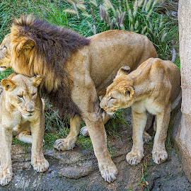 Lion and  Pride by Pat Lasley - Animals Lions, Tigers & Big Cats ( lion, big cats, zoo, lioness, anilmals )